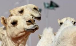 Саудын Араб улсын сайхан тэмээ шалгаруулах тэмцээнээс 12 тэмээ хасагдсан.