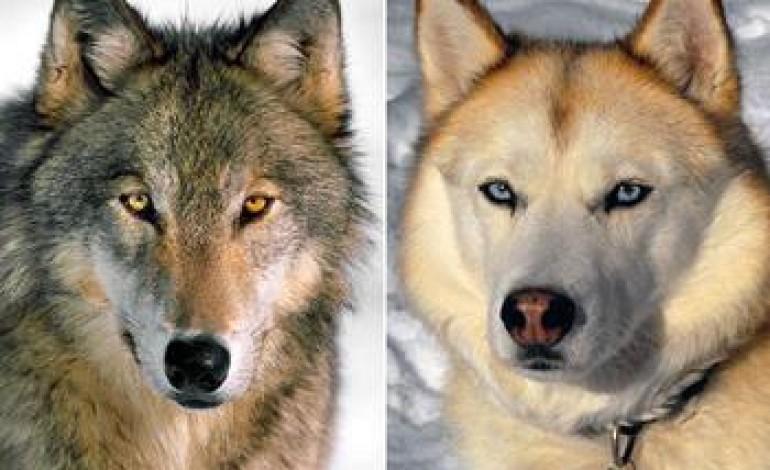 Нохойны өвөг үндсийг хөөгөөд явах юм бол чоно болно.